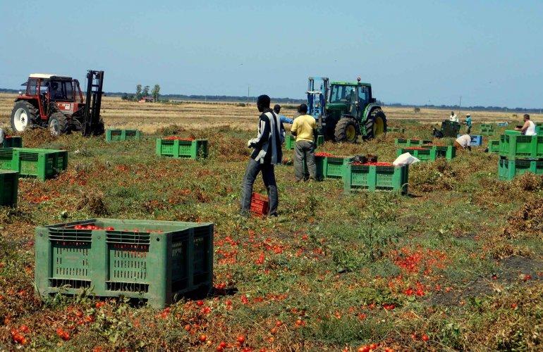 Raccoglitori di pomodori in provincia di Foggia (Altreconomia).
